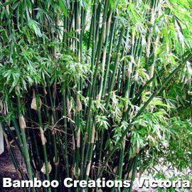 best of Strip silver Bambusa multiplex