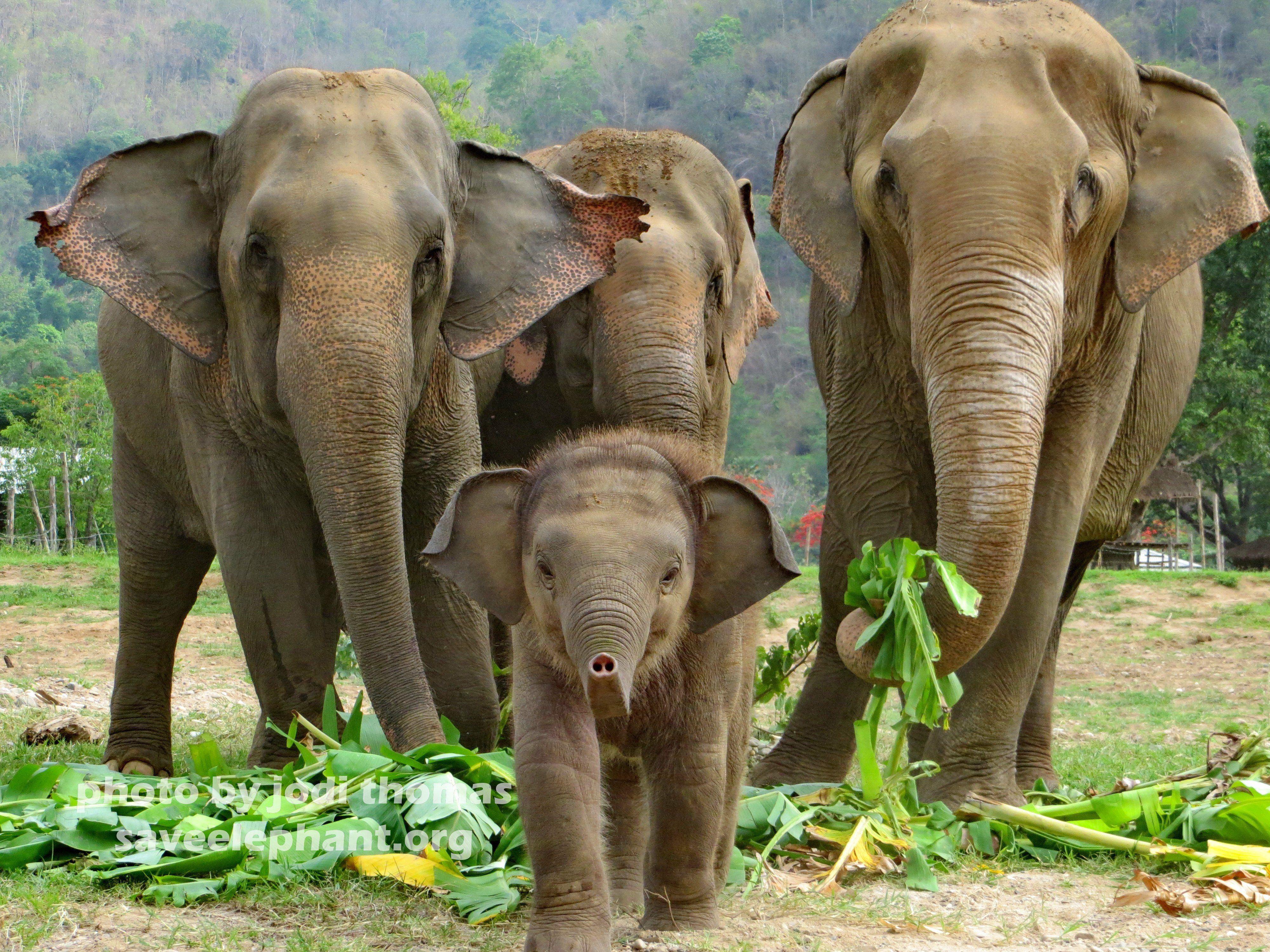 Asian baby elephants